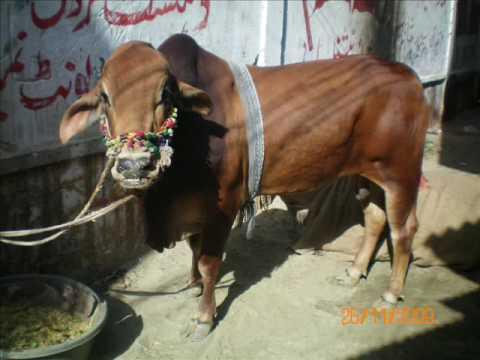 QURBANI COW 2009 IN SULTANABAD - YouTubeQurbani Cow 2009