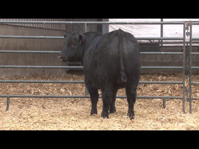 Schiefelbein Angus Farms Lot 361