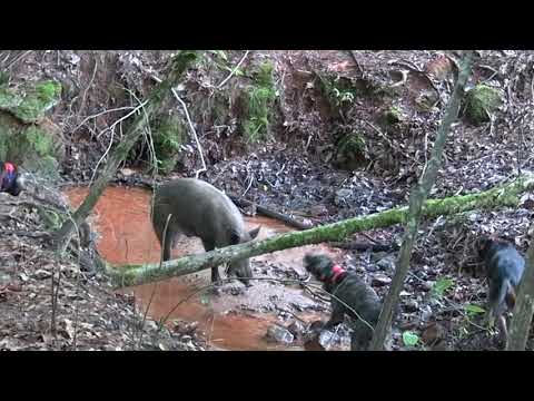 Hog Hunting With Dogs!!! Catch Dog Tougher Than Nails