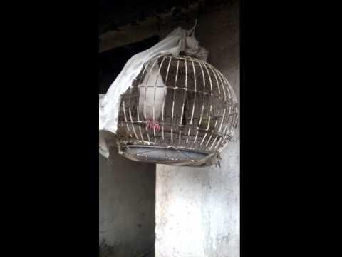 chim cu bạch tạng.