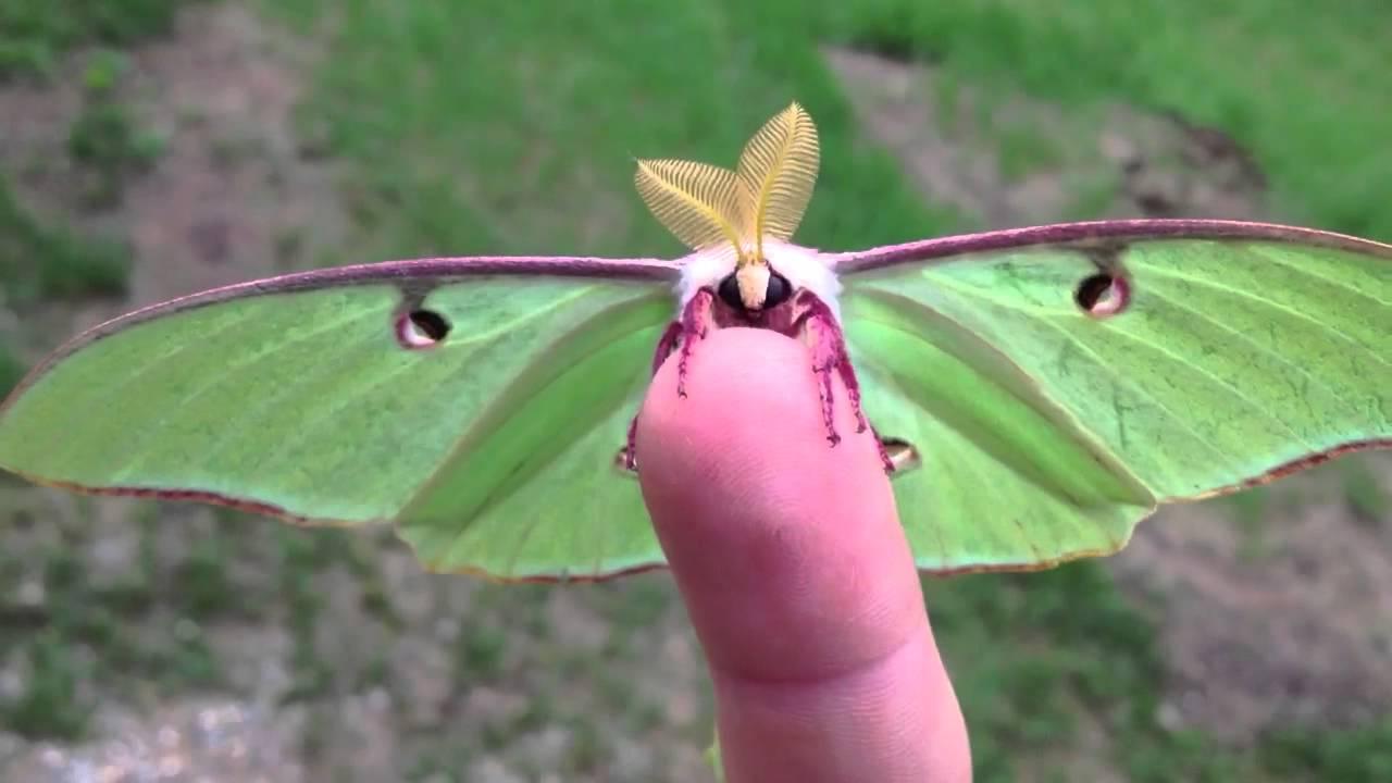 Actias Luna Moth Green Lunar Moth Youtube