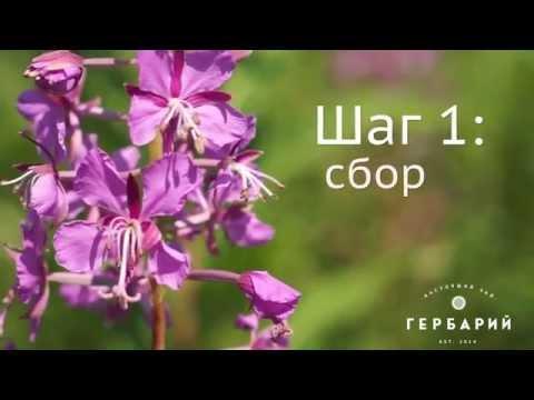 Иван-чай: сбор, сушка, заготовка, приготовление