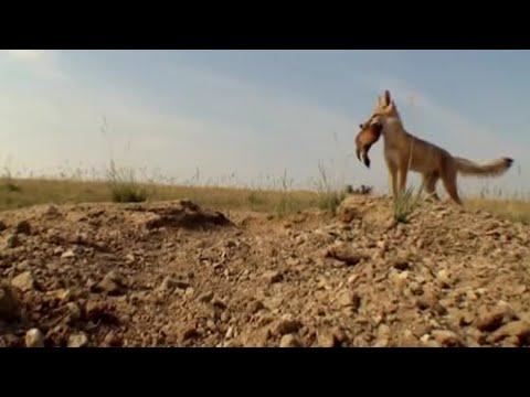 Coyote predators - Natural World - BBC