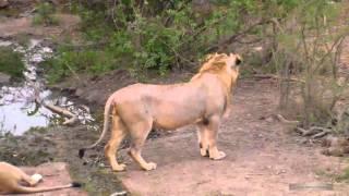 Дикая природа Африк Молодой лев и гарем львиц Africa Young lion & harem of young lionesses