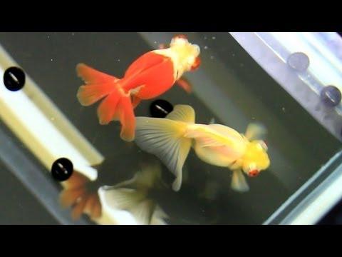 Goldfish Eating Saki-Hikari Pellets