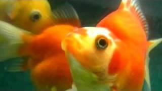 「金魚鉢の中にアメリカが見えた」 みなみらんぼう thumbnail