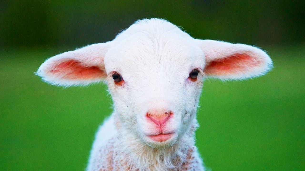 Les animaux de la ferme le mouton youtube - Photos de moutons gratuites ...