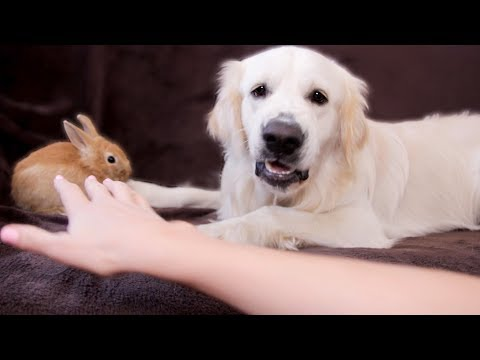Pet Corner - Funny Dog Bailey Protects Rabbit