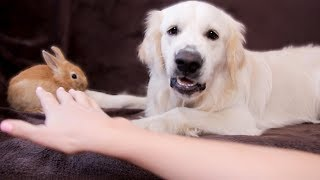 dog-protects-rabbit