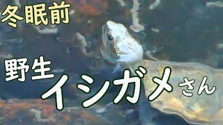 野生イシガメ冬眠前の指標🐢秋の石亀探し[ゆる野遊び]
