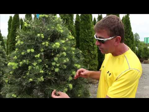 The Street Smart Gardener - Concolor Fir