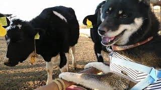 チャンネルJun Junさんの北海道犬くんと、若牛さん達のほのぼの動画を紹...