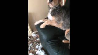 Guilty Dog Benny Destroys Couch