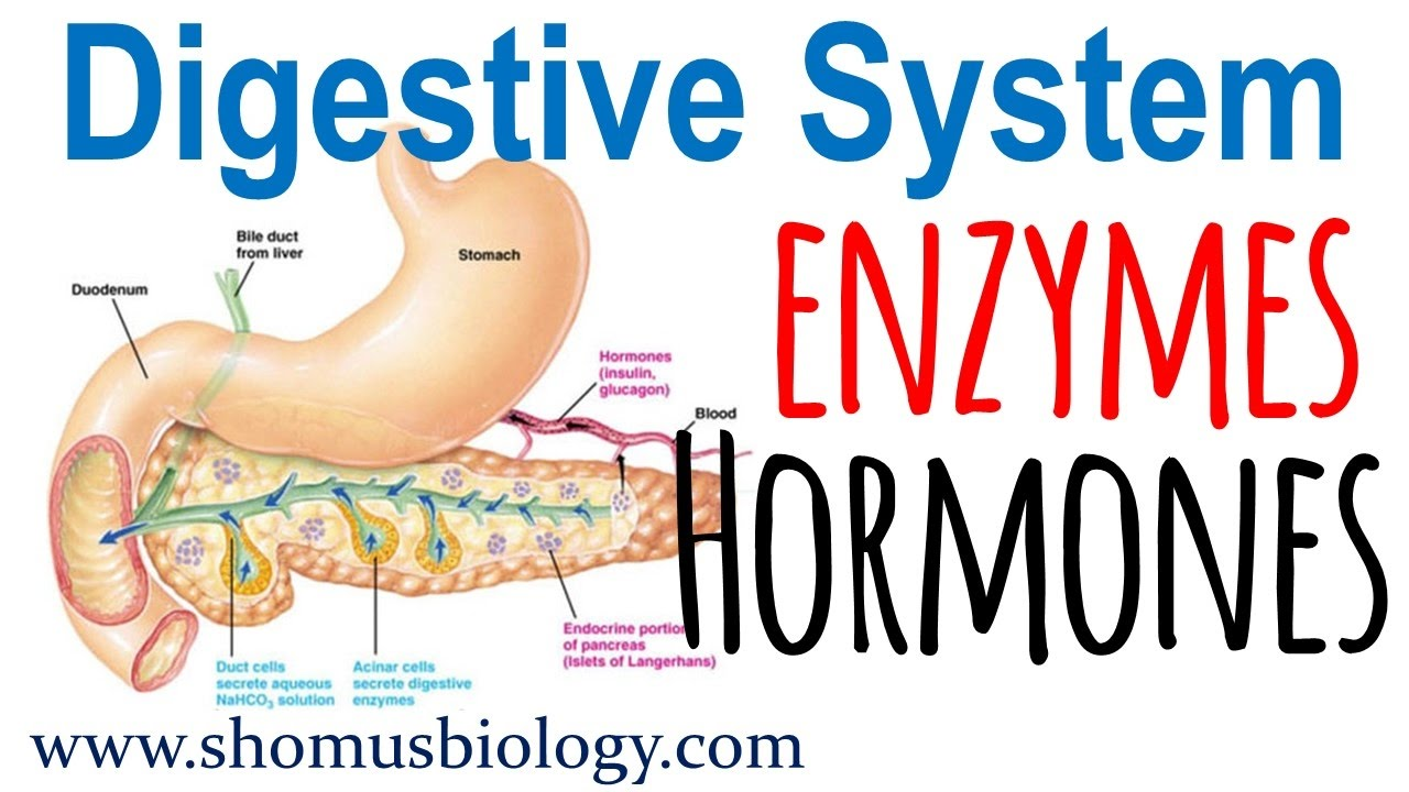 Digestive Enzymes And Hormones Youtube