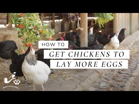 how-to:-get-chickens-to-lay-more-eggs