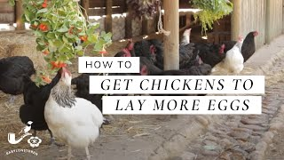 How To: Get Chickens To Lay More Eggs