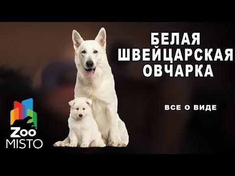 Белая швейцарская овчарка - Все о породе собаки | Собака породы белая швейцарская овчарка