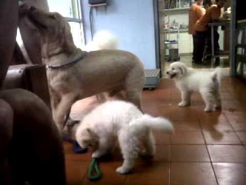 Dijual Puppy Mix Golden-samoyed  3 Jantan, 2 Betina
