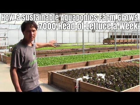 How a Sustainable Aquaponics Farm Grows 7000 Heads of Lettuc