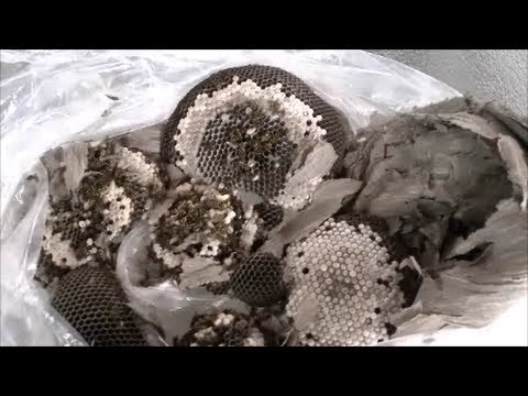 How To Safely Remove Wasp Nest