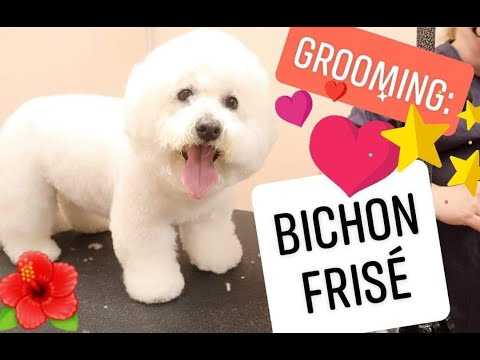 Grooming: Bichon Frise (white)