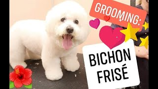 Grooming: Bichon Frise (white)
