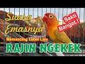 Sakti Banget Call Lovebird Disertai Ngekek Suaranya Memancing Labet Lain Rajin Bunyi Dan Gacor  Mp3 - Mp4 Download