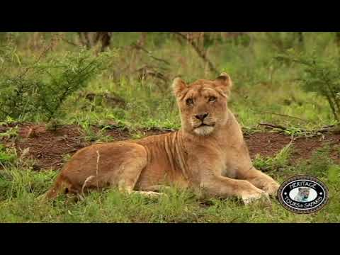 African Lion or Panthera, Origins, Hunting Habits, Pictures