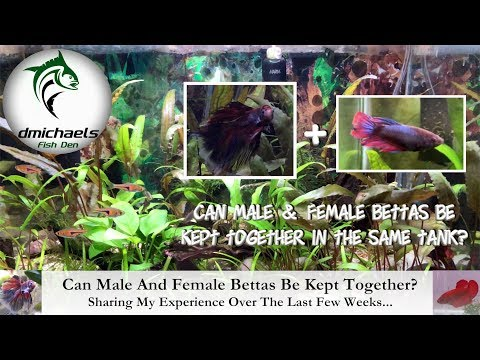 Can Male And Female Bettas Be Kept Together? Sharing What I