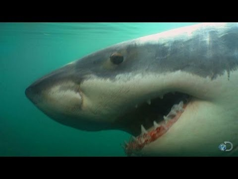 Great Whites Return to Chatham, MA | Return of Jaws