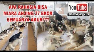Gila Banget!! Apa Rahasia Miara Anjing 37 Ekor Bisa Akur Semua?