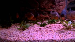 Pygocentrus nattereri élevage/sauvage Bélem Brésil