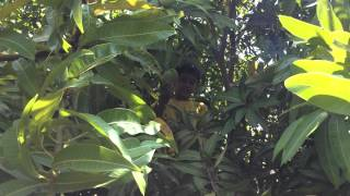 Aum Harvesting Mangoes