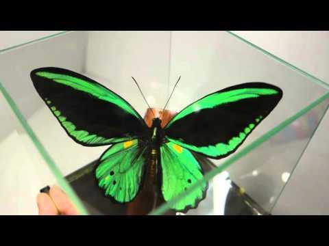 Птицекрылка Приам в кубе ( Орнитоптера) Настоящая бабочка Ornithoptera priamus