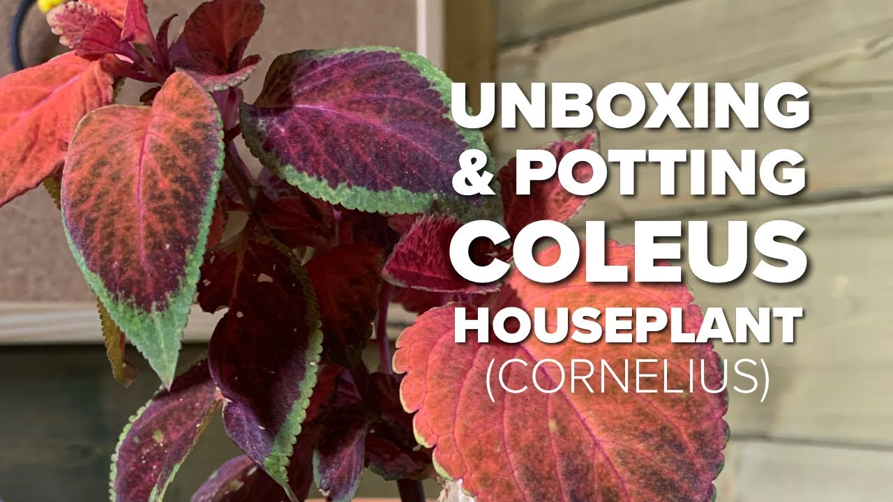 Unboxing and potting an indoor Coleus Houseplant from #eBay