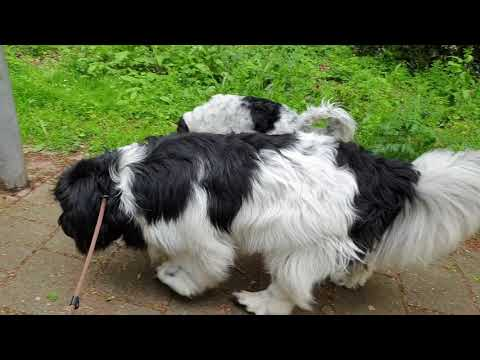 Newfoundland dog Sara. May 2019