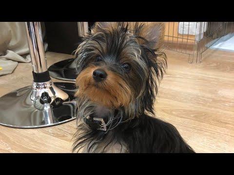 VLOG:Зефир дома! поездка,встреча с щенком! ура! + новинки одежды для собак.