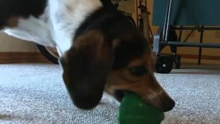 My Beagle Playing | Epic Dog