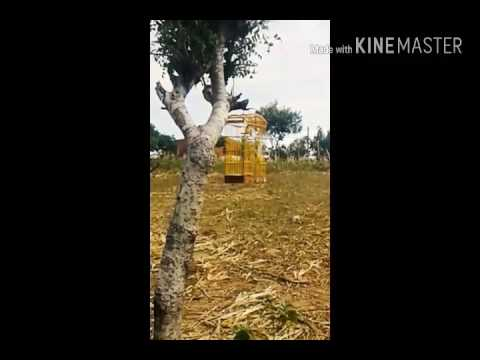 Golinha cantando de azulão / No mato - Serra de São Bento/RN