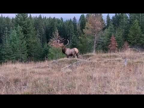 Clint August - Clint's Buddy Mark, called in a bull elk, got some video. He's Nuts!!!