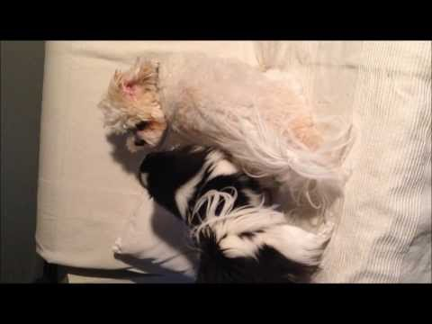 Japanese Chin VS Bichon Mix