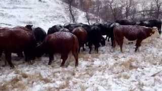 Feeding winter grazing cows cake,in North Dakota. NO HAY $$$