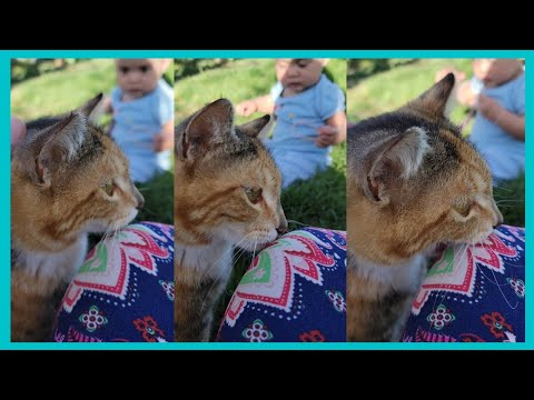 Calico Cat used a Sniff and Nip Trick!!! | Waray in Idaho #shorts