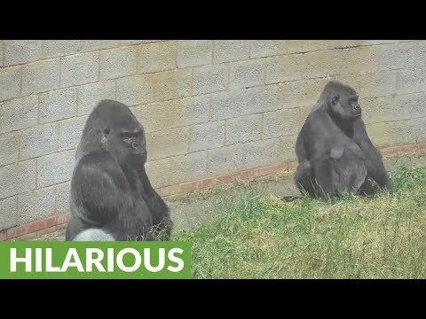 Misbehaving Silverback Gorilla is in the doghouse