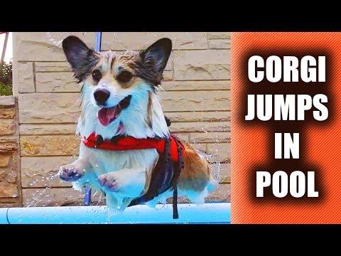 CORGI puppy jumps in POOL