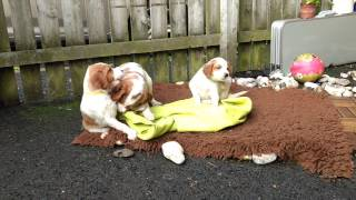 Irish red and white setter puppies 5 weeks old having fun