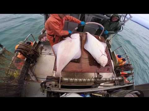 Alaska Commercial Halibut Fishing 2017 (short Edit)