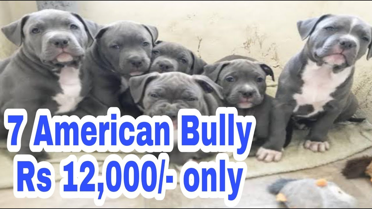 7 American Bully Pocket Size Puppies In Rs 12 000 Only With