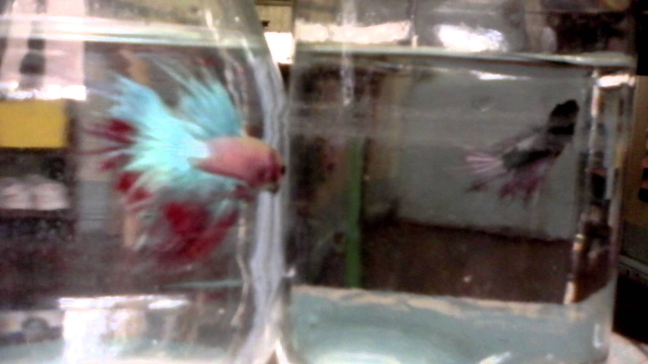 Crown tail betta 6 months and 3 months old youtube crown tail betta 6 months and 3 months old nvjuhfo Choice Image