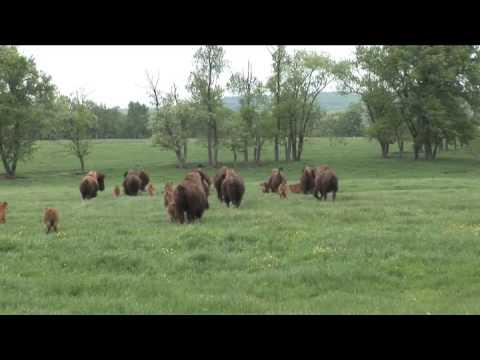 Buffalo Are Bred And Raised In Readington